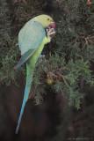 Rose-ringed Parakeet_8123