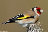 goldfinch_1411