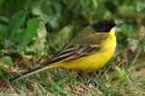 Yellow Wagtail_0778