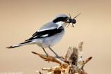 Rufous-tailed Shrike_1134