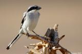 Rufous-tailed Shrike_1038
