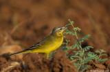 yellow wagtail_6186