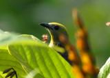 Palm Tanager - AWNC