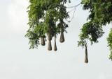 Oropendola nests - AWNC