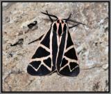 Figured Tiger Moth (Grammia figurata)