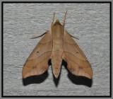Virginia Creeper Sphinx Moth (Darapsa myron)