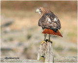 RED TAILED HAWK   DANCES ON  FENCE POST