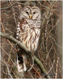 Barred Owl - Probable Male