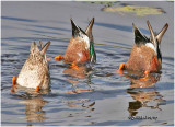 BOTTOMS UP - Northern Shovelers