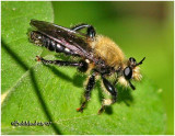Bee-like Robber Fly- Male