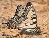 Appalachian SwallowtailPterourus appalachiensis