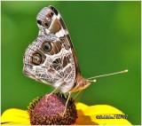 American LadyVanessa virginiensis