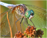 Blue Dasher-Male