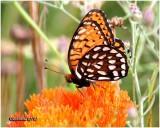 Regal Fritillary-MaleSpeyria idalia
