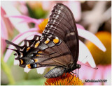 Eastern Tiger Swallowtail-Black Form, Always FemalePapilio glaucus