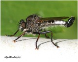 Robber Fly-Male
