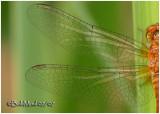 Yellow-legged Meadowhawk