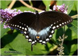 Spicebush Swallowtail-MalePterourus troilus