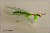 Mantidfly-Adult