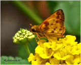 Zabulon Skipper-Male