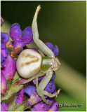 FAMILY THOMISIDAE-(Crab Spiders)