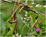 Orange-tipped Oakworm Moth Caterpillar InfestationAniseta senatoria #7719