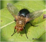 Techinid Fly-Female