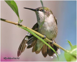 Ruby Throated Hummingbird-Immature Male