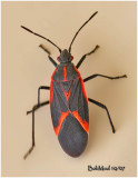 Box Elder Bug-Adult