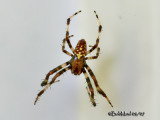 Marbled Orb Weaver-Male