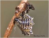 Spined Micrathena-Female