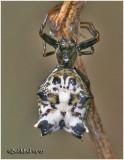 Spined Macrathena-Female