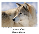 Portrait of a Wolf ... (February 2007)