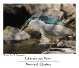 Black Crowed Night Heron -- Bihoreau Gris ...