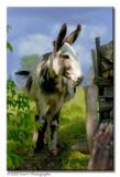 Donkey ...
