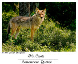 Monsieur le Coyote ...