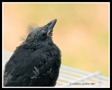 Rescued Baby Grackle