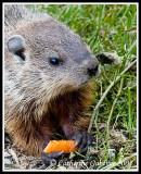 Baby Groundhog Charlie