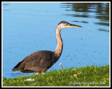 GBH Early Morning Stroll