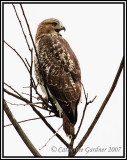 Red-tailed Hawk (first-year juvenile)