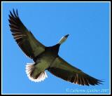 Snow Goose Blue Morph