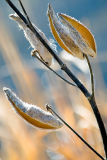 Milkweed Pods  ~  November 6  [31]