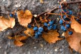 Berries  ~  November 7  [18]