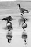 Winter Geese  ~  December 20  [12]