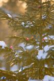 Late Season Christmas Tree  ~  March 4