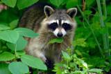 Bandit in the Woods  ~  June 6  [20]