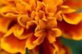 Marigold Closeup  ~  October 2  [10]