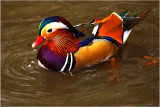 Mandarin Duck- Richmond Park