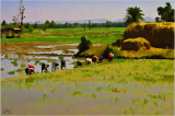 Women Sowing Rice- Mysore South India.jpg