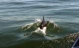 Dolphin, Walvis Bay
